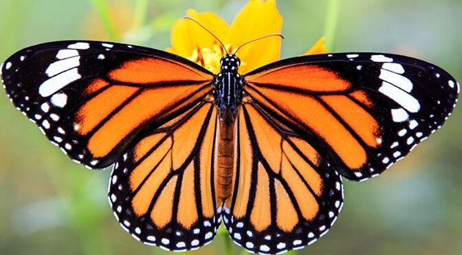 Sous l'aile du papillon